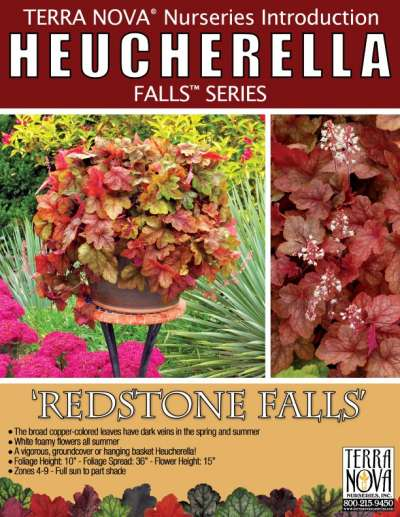 Heucherella 'Redstone Falls' - Product Profile