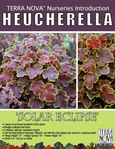 Heucherella 'Solar Eclipse' - Product Profile