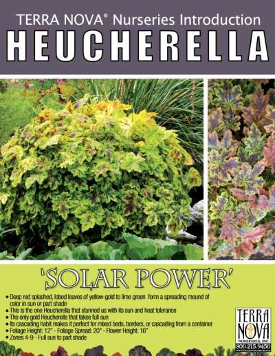 Heucherella 'Solar Power' - Product Profile