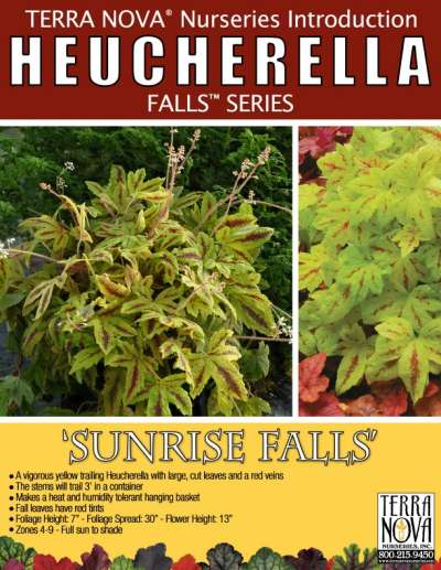 Heucherella 'Sunrise Falls' - Product Profile