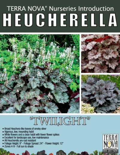 Heucherella 'Twilight' - Product Profile