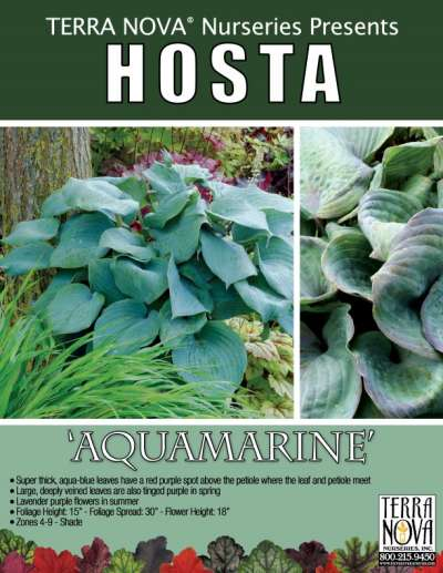 Hosta 'Aquamarine' - Product Profile