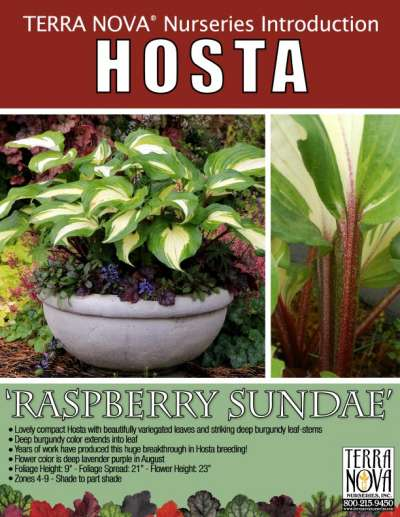 Hosta Raspberry Sundae Terra Nova Nurseries Inc