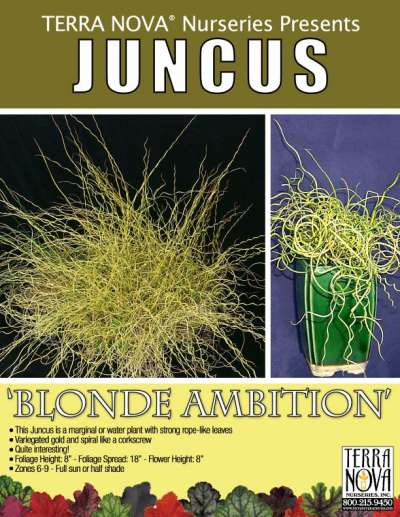 Juncus 'Blonde Ambition' - Product Profile