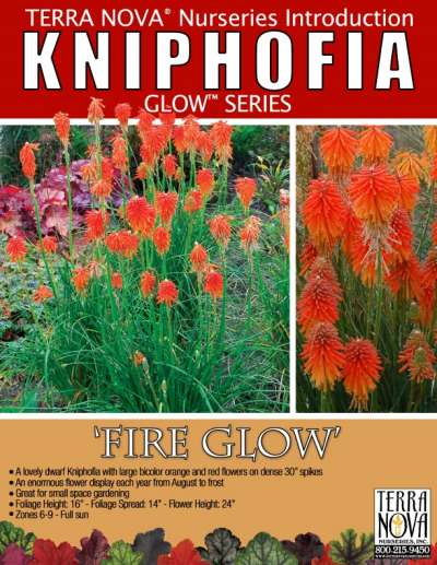 Kniphofia 'Fire Glow' - Product Profile