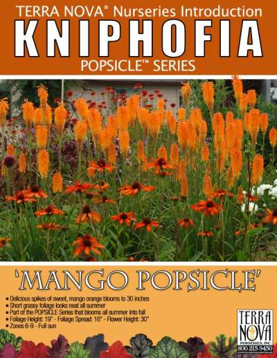 Kniphofia 'Mango Popsicle' - Product Profile