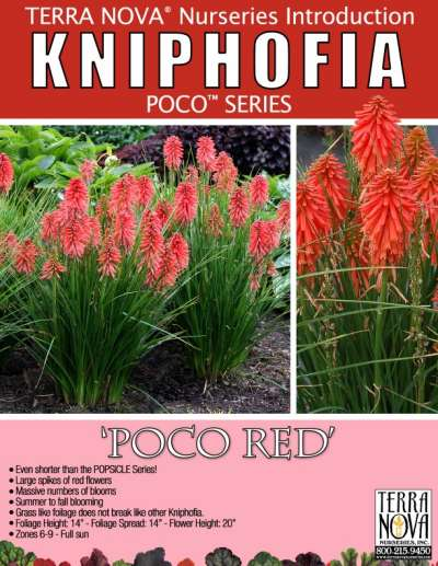Kniphofia 'Poco Red' - Product Profile