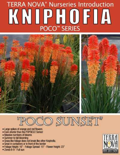 Kniphofia 'Poco Sunset' - Product Profile