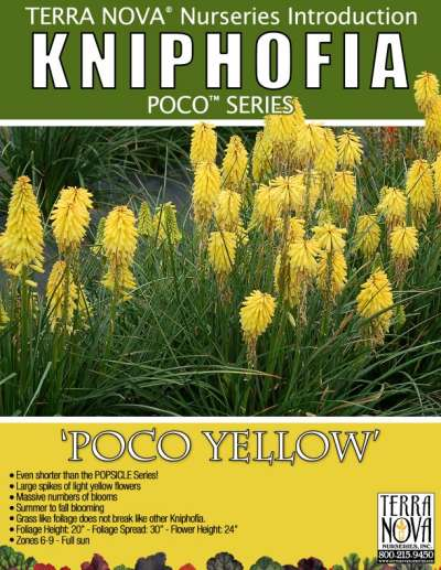 Kniphofia 'Poco Yellow' - Product Profile