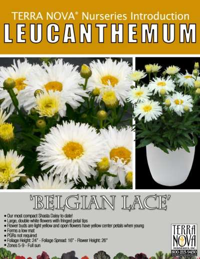 Leucanthemum 'Belgian Lace' - Product Profile