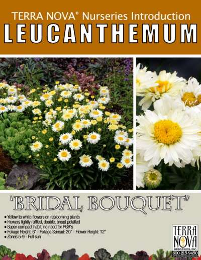 Leucanthemum 'Bridal Bouquet' - Product Profile