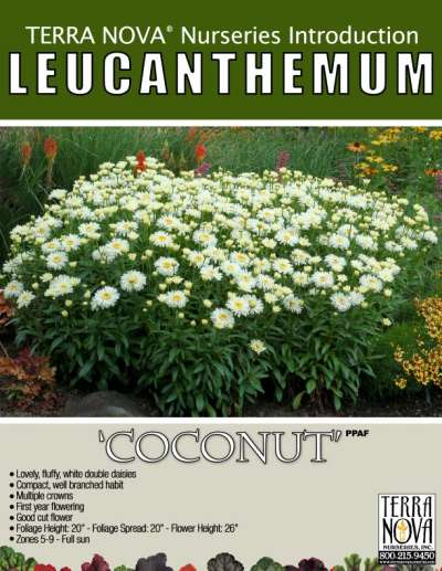 Leucanthemum 'Coconut' - Product Profile