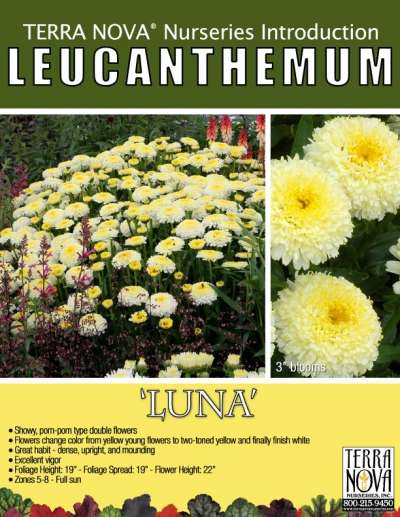 Leucanthemum 'Luna' - Product Profile