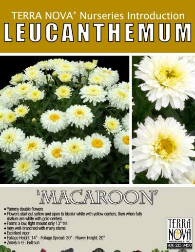 Leucanthemum 'Macaroon' - Product Profile