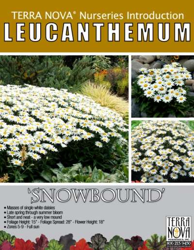 Leucanthemum 'Snowbound' - Product Profile