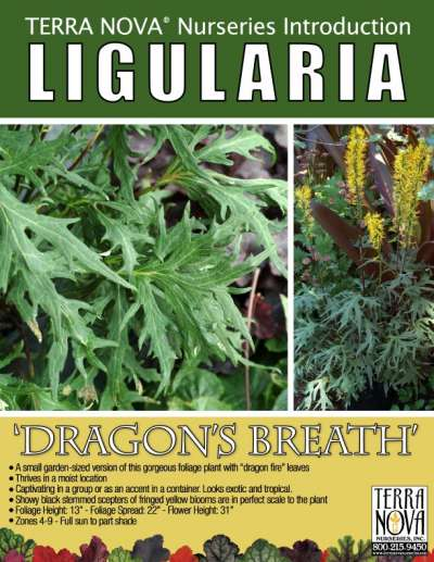 Ligularia 'Dragon's Breath' - Product Profile