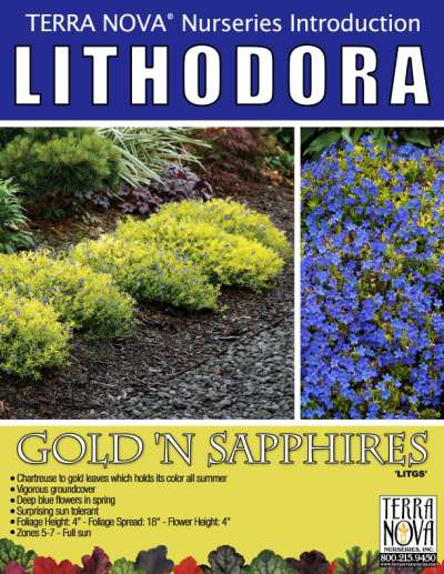 Lithodora Gold 'N Sapphires - Product Profile