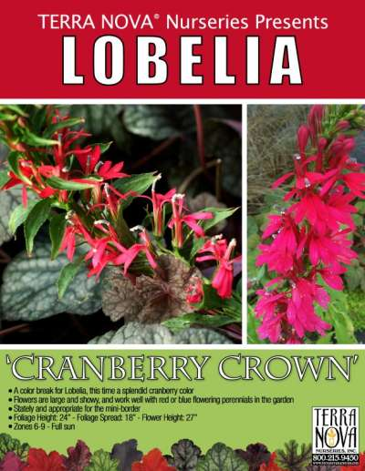 Lobelia 'Cranberry Crown' - Product Profile