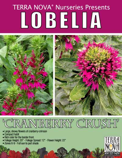 Lobelia 'Cranberry Crush' - Product Profile