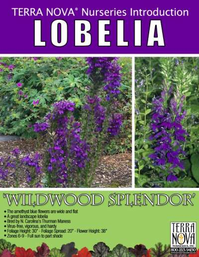 Lobelia 'Wildwood Splendor' - Product Profile