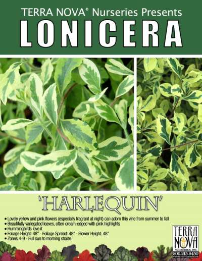 Lonicera 'Harlequin' - Product Profile