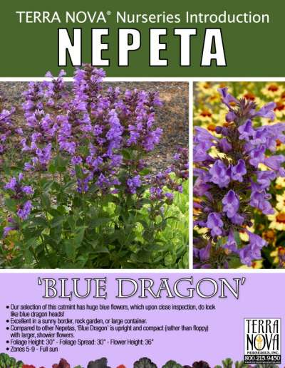 Nepeta 'Blue Dragon' - Product Profile