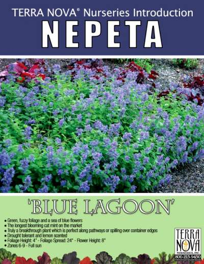 Nepeta 'Blue Lagoon' - Product Profile