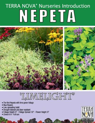 Nepeta 'Limelight' - Product Profile