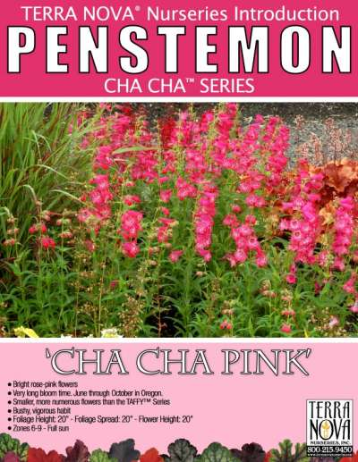 Penstemon 'Cha Cha Pink' - Product Profile