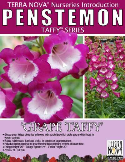Penstemon 'Grape Taffy' - Product Profile