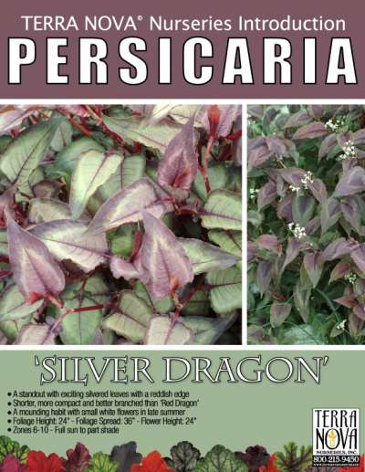Persicaria 'Silver Dragon' - Product Profile