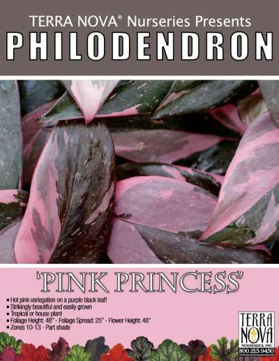 Philodendron 'Pink Princess' - Product Profile