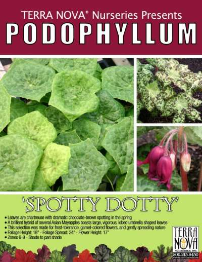 Podophyllum 'Spotty Dotty' - Product Profile