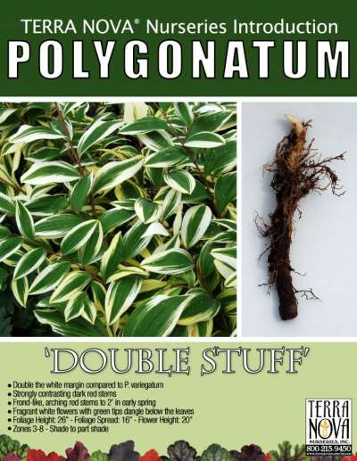 Polygonatum 'Double Stuff' - Product Profile