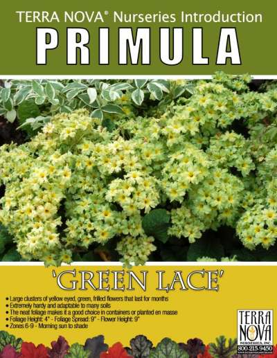 Primula 'Green Lace' - Product Profile