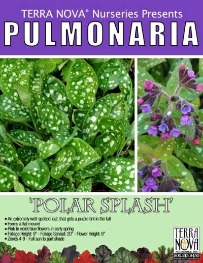 Pulmonaria 'Polar Splash' - Product Profile