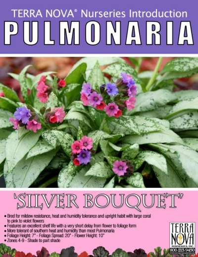 Pulmonaria 'Silver Bouquet' - Product Profile