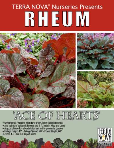 Rheum 'Ace of Hearts' - Product Profile