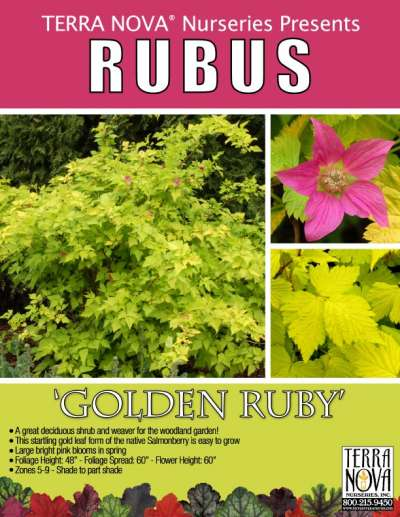Rubus 'Golden Ruby' - Product Profile