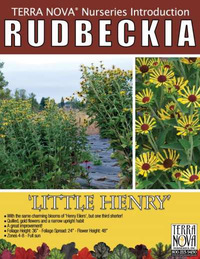 Rudbeckia 'Little Henry' - Product Profile