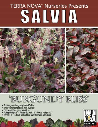 Salvia 'Burgundy Bliss' - Product Profile