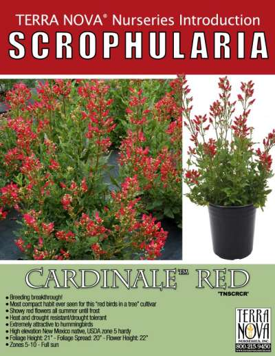 Scrophularia CARDINALE™ Red - Product Profile