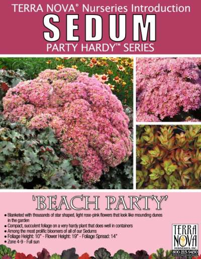 Sedum 'Beach Party' - Product Profile