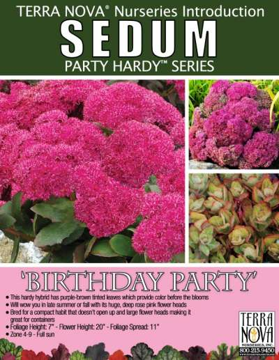 Sedum 'Birthday Party' - Product Profile
