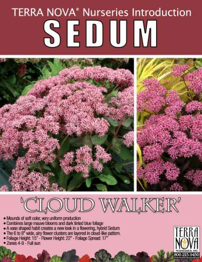 Sedum 'Cloud Walker' - Product Profile