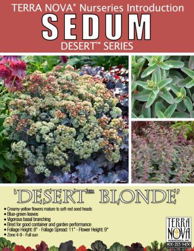 Sedum 'Desert Blonde' - Product Profile