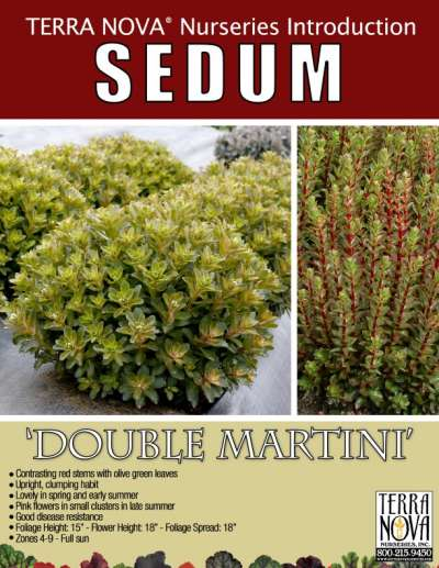 Sedum 'Double Martini' - Product Profile