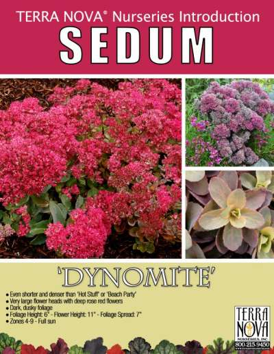 Sedum 'Dynomite' - Product Profile