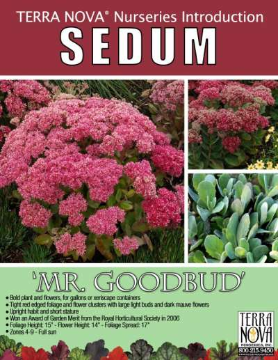 Sedum 'Mr. Goodbud' - Product Profile