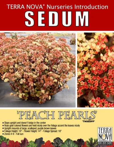 Sedum 'Peach Pearls' - Product Profile